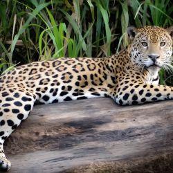 El yaguaretè se encuentra en serio peligro de extinción.