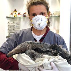 Gisela Fernández y el intenso trabajo diario de cuidado y adiestramiento de los osos hormigueros.