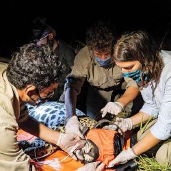 """Los correntinos """"bancaron"""" el regreso del yaguareté desde el vamos, cuenta Sofía."""