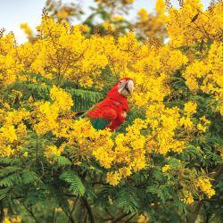 El increíble y amenazado guacamayo rojo.