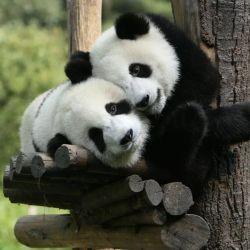 A partir de ahora, el oso panda será considerado como una especie vulnerable.