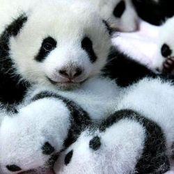 Actualmente, China cuenta con 1.800 osos pandas.