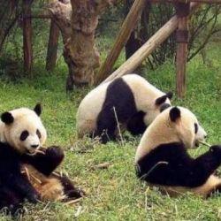 Actualmente, el hábitat natural de los plantígrados se limita apenas a tan solo seis zonas montañosas de China.