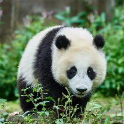 La cría en cautividad, cuyo objetivo es la posterior reintroducción de los animales en la naturaleza, es clave para el futuro de esta especie