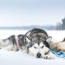 Gracias a su denso y largo pelaje los perros de esta raza resultan ideales para tirar de los trineos en la nieve.