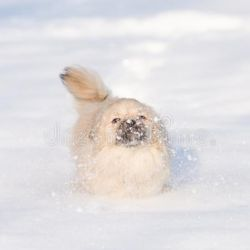 Es la raza de perros más pequeña que mejor se adapta al frio.