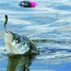 El estudio fue realizado en seis especies de peces.