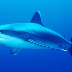 En la Argentina hay 55 especies de tiburones.
