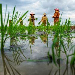 Esta foto muestra a los agricultores trabajando en un campo de arroz en Lhokseumawe, Aceh. | Foto:Azwar Ipank / AFP
