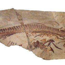 El ictiosaurio es una de las principales piezas de atracción del museo.
