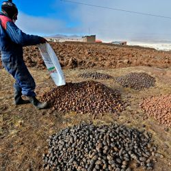 Peasant Egberto Mamani works with potatoes that will be used to elaborate chuño (dehydrated potato) in Machacamarca, Bolivia, on June 30, 2021.