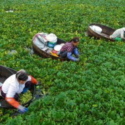 Los agricultores recogen castañas de agua en un estanque en Taizhou, en la provincia oriental china de Jiangsu. | Foto:STR / AFP