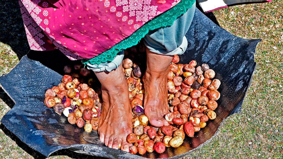 A peaseant steps on potatoes to begin the elaboration of chuño (dehydrated potato) in Machacamarca, Bolivia, on June 30, 2021.