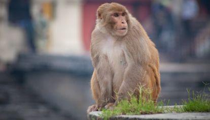 VIRUS B. Los seres humanos raramente se infectan con el virus del mono, pero si las personas contraen el virus y no reciben tratamiento de inmediato