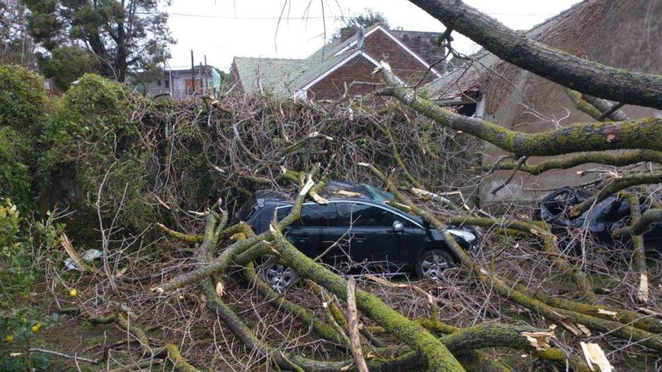 Una postal de los destrozos por el viento en Mar del Plata, con un añoso árbol derribado en Barrio Alfar.
