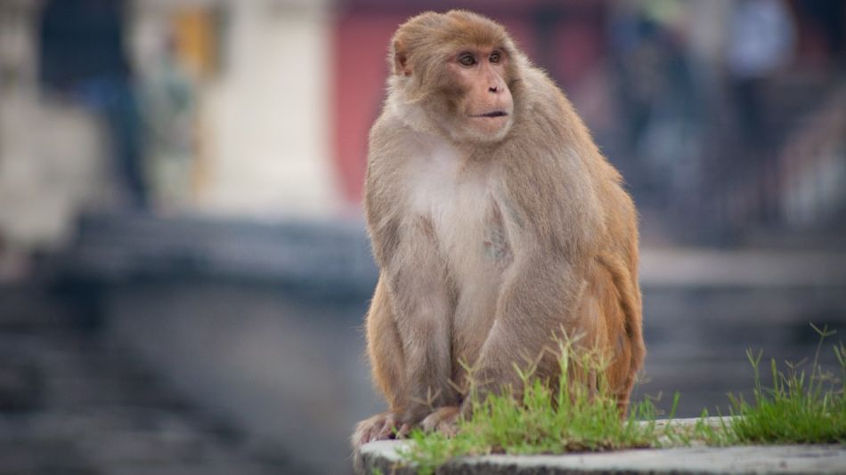 virus del mono