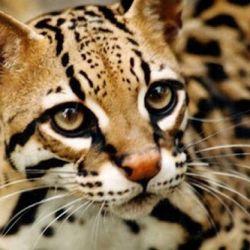 El ocelote es un felino silvestre mediano que habita en gran parte del continente americano.