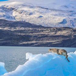 El puma caminaba de un lugar a otro del iciberg que se encontraba a la deriva.