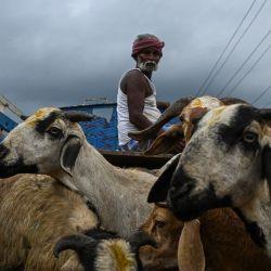 Se venden animales de sacrificio antes de la festividad musulmana de Eid al-Adha en un terreno en Chennai.   Foto:Arun Sankar / AFP