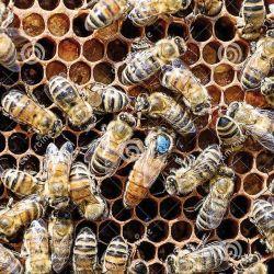 Las abejas en plena producción de miel.