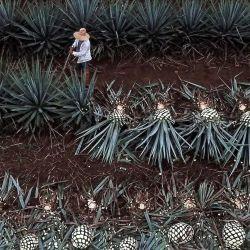 Vista aérea de una plantación de agave utilizada para hacer tequila en Tequila, estado de Jalisco, México, en medio del Día Internacional del Tequila. | Foto:Ulises Ruiz / AFP