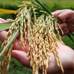 La producción total superó los 1.52 millones de toneladas de arroz.