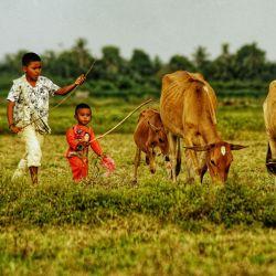 Dos jóvenes pastores atienden a las vacas de su familia que pastan en un campo en Lhokseumawe, Aceh.   Foto:Azwar Ipank / AFP