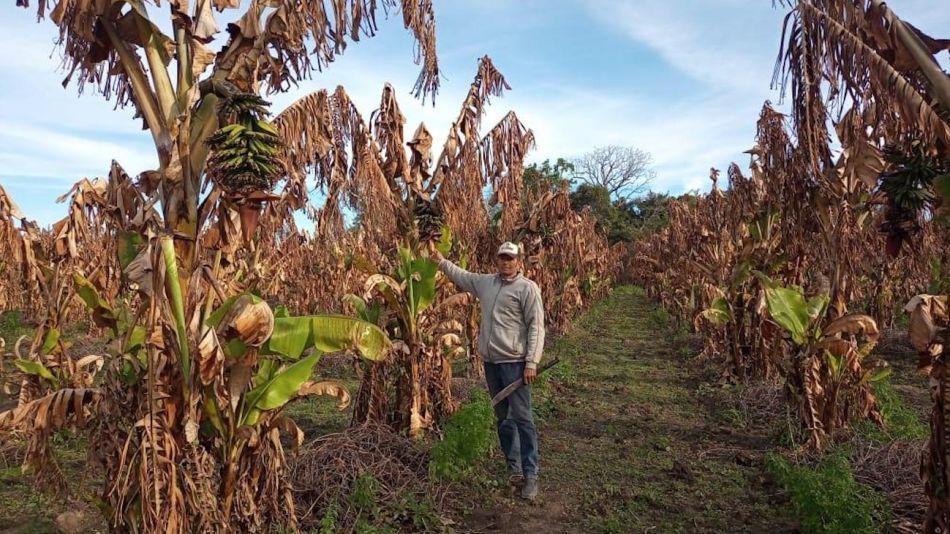 heladas en plantaciones de bananas en Formosa