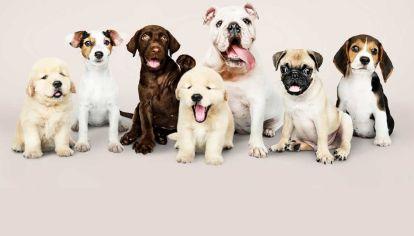 Perros: éstas son las tres razas más dormilonas