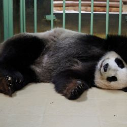 Tanto la osita panda china Huan Huan, como su esposo, Yuan Zi, viven en el Beauval en un préstamo de 10 años de China que busca sostener las buenas relaciones con Francia.