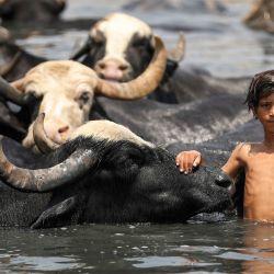 Un niño iraquí nada con un rebaño de búfalos en el río Diyala, en el distrito de Faziliah, al este de Bagdad.   Foto:Ahmad Al-Rubaye / AFP