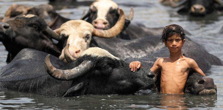 Un niño iraquí nada con un rebaño de búfalos en el río Diyala, en el distrito de Faziliah, al este de Bagdad.