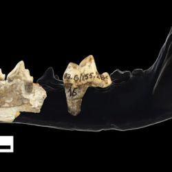 Los restos fósiles encontrados pertenecen a una especie de lobo pintado que actualmente vive en la sabana africana..