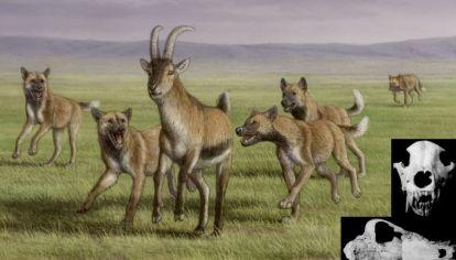 Hallan restos fósiles del antepasado del lobo de las sabanas africanas