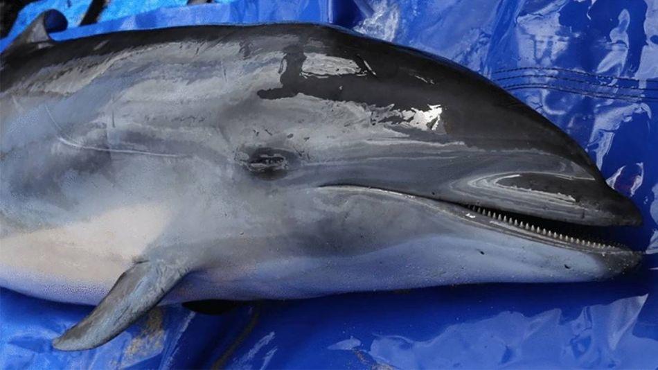 Una nueva cepa virus morbillivirus hallada en delfín de Fraser