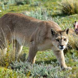 El puma concolor se encuentra en peligro de extinción en la Argentina.