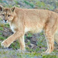 Esta especie ocupa el mayor rango de extensión en el Nuevo Mundo que cualquier otro mamífero terrestre.