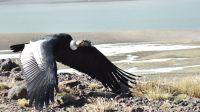 Un cóndor herido fue rescatado y devuelto a su hábitat natural