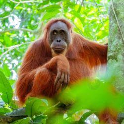 El orangután está clasificado en Estado Crítico de Extinción por la UINC.