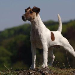 Los foxterriers son perros muy listos y valientes, cosa ésta última que demuestran a través de sus excesivos y poderosos ladridos.