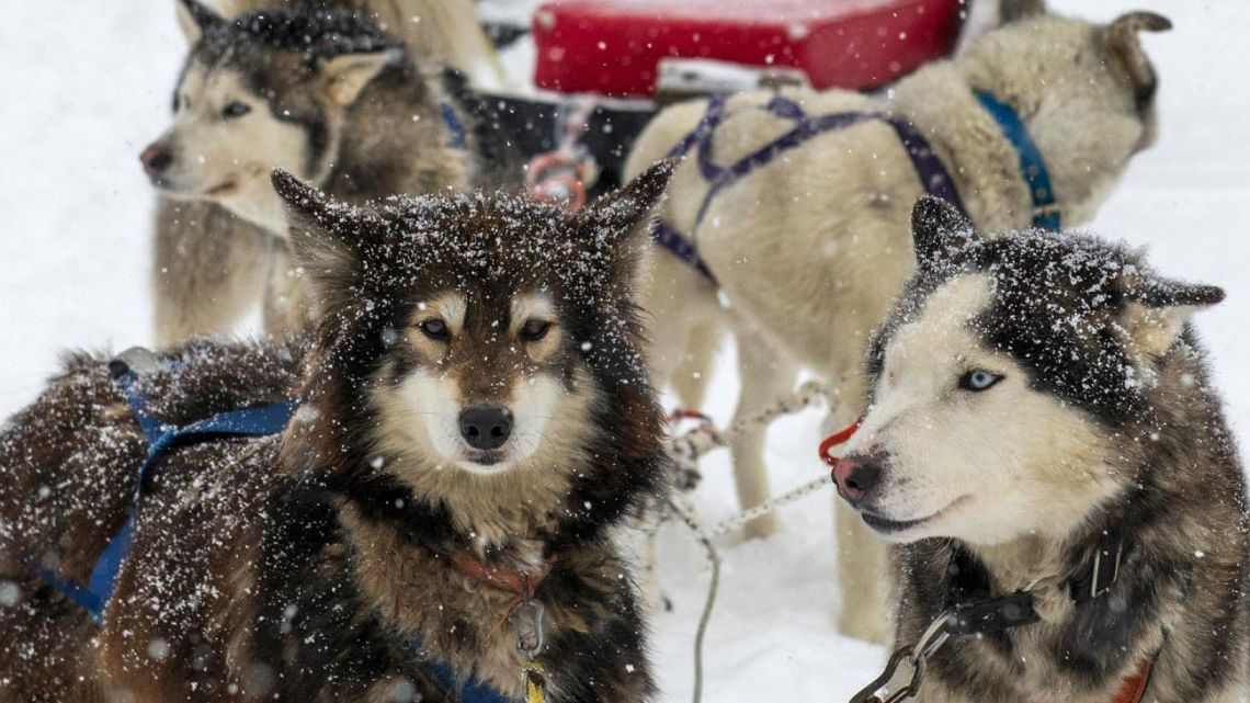 Hugo Flores hosts guests and attaches dogs to a sleigh for tourists to ride at the 'Siberianos de Fuego' complex in Valle de las Cotorras, near Ushuaia, Tierra del Fuego Province.