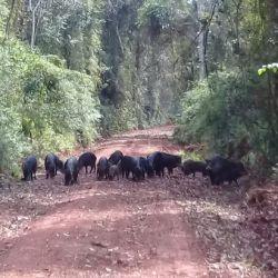 Los pecaríes labiados fueron descubiertos en el interior del Parque Nacional Iguazú.