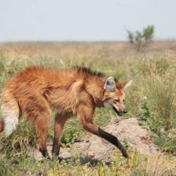 El Aguará Guazù se encuentra en peligro de extinción en la Argentina.
