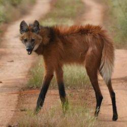 Es inèdita la presencia de esta especie de zorro en Gualeguaychú.