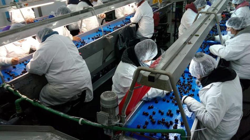 Producción de cerezas