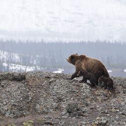 Su nombre  deriva de la unión del oso polar (Ursus maritimus) con el grizzly u oso gris (Ursus arctos horribilis).