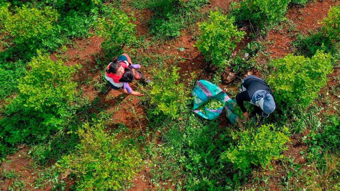 Aerial view of raspachin (coca leaf collector) Karen Palacios and her daughter working at a coca field in the mountains of El Patía municipality, Cauca department, Colombia, on May 5, 2021.