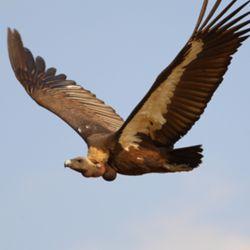 El buitre es una de las especies que se encuentra en peiigro de extinción.
