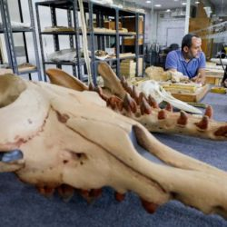 Esta ballena que medía cerca de unos 3 metros de largo y pesaba unos 600 kilos nadaba y caminaba hace unos 43.000.000 de años gracias a las cuatro patas que poseía