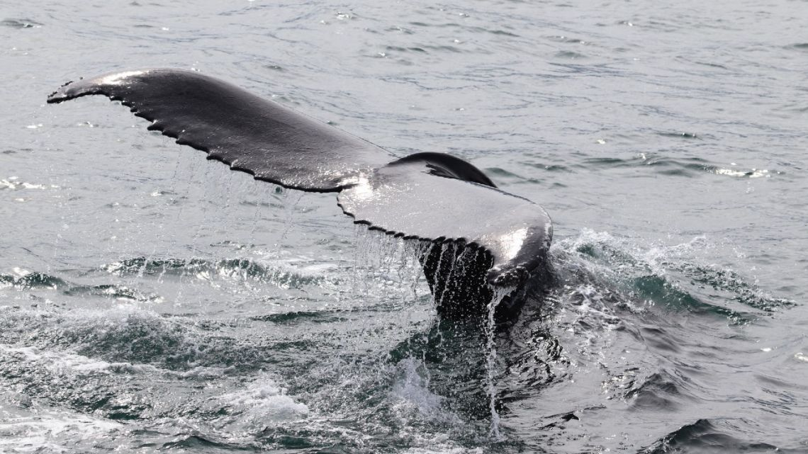 This picture taken on August 2, 2021 shows a humpback whale diving in Hestfjorour (Westfjords), Iceland. Just off the northern coast of Iceland, scientists are collecting data from whales' breath to find out if they get stressed by whale-watching boats, an industry that has boomed in recent years.
